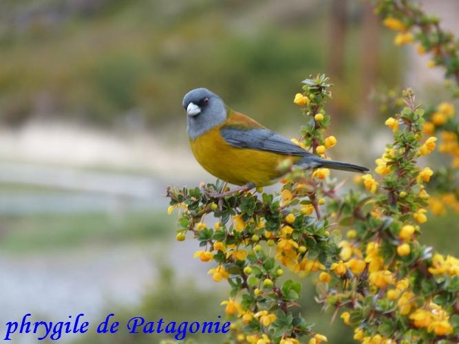 phrygile de Patagonie