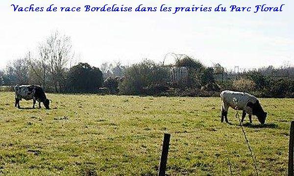 01 vache race bordelaise (2)