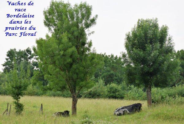 03 vache bordelaise (2)